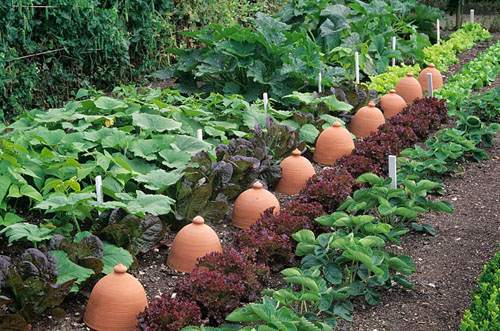 Row of Chicory forcing pots in vegetable garden - © J S Sira/GAP Photos