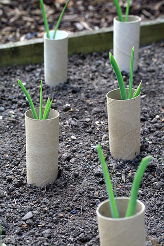 Allium porrum - Young organic leeks with recycled toilet rolls placed around them to help with blanching - © Maxine Adcock/GAP Photos