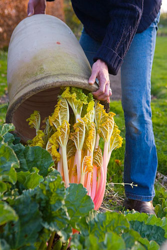Checking on forced rhubarb in terracotta forcer - © Mark Winwood/GAP Photos