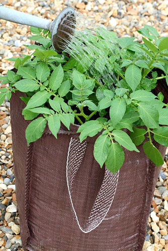 Planting seed potatoes 'Charlotte' in a growing bag - Water well once foliage has formed - © Maxine Adcock/GAP Photos
