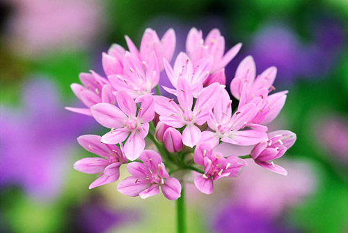 Allium unifolium - Ornamental Onion