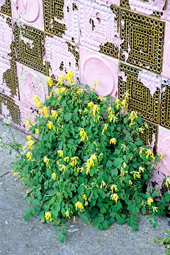 Corydalis lutea growing from pavement agaist old, colourful tiled wall, West London - © Pat Tuson/GAP Photos