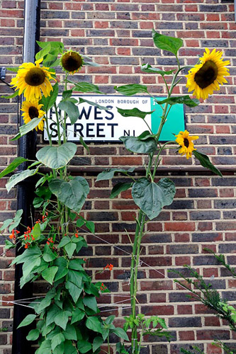 Helianthus annuus - Sunflowers underplanted with runner beans growing in front of a street sign in London Borough of Islington - © Pat Tuson/GAP Photos