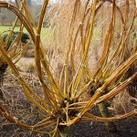 Yellows stems of Salix alba subsp. vitellina. Coppiced Willow at RHS Hyde Hall