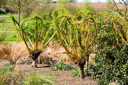 Salix - Willows with decoratively shaped branches, tied in with twine. RHS Garden Hyde Hall