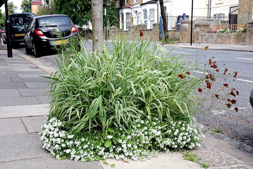 Variegated ornamental grass with Alyssum planted in a tree pit on the pavement of a residental street in Hackney - © Pat Tuson/GAP Photos