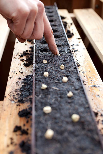 Planting and growing on Pea 'Lincoln' seeds - © GAP Photos
