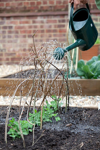 Planting out gutter grown pea 'Lincoln' plants in raised vegetable bed - watering in - © GAP Photos