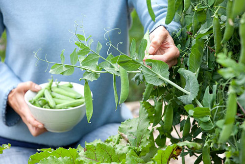 Growing peas in raised vegetable bed, harvesting and shelling - © GAP Photos