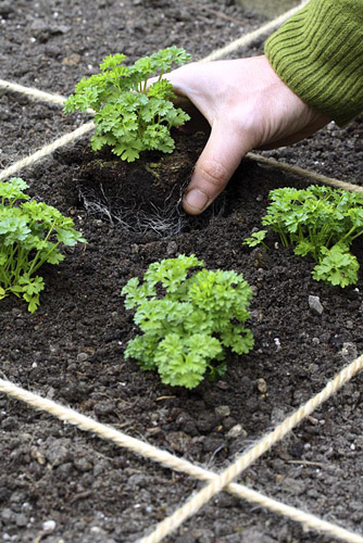Man planting parsley in beds designed for square foot gardening - © Maxine Adcock/GAP Photos