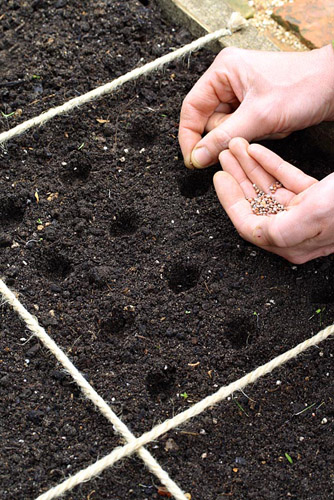 Sowing radish seeds in beds designed for square foot gardening - © Maxine Adcock/GAP Photos