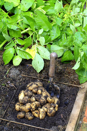 Solanum tuberosum 'Duke of York' - Harvested potatoes in beds designed for square foot gardening - © Maxine Adcock/GAP Photos