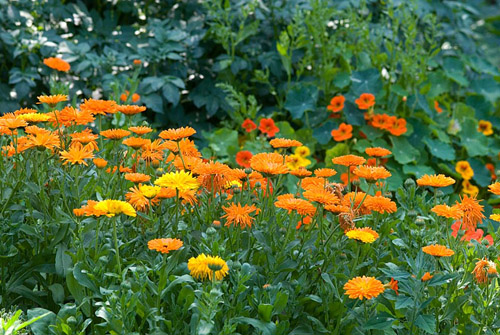 Kitchen garden with Calendula officianalis - Heveningham, Suffolk - © Zara Napier/GAP Photos