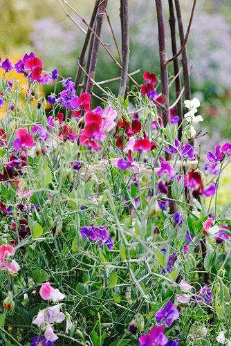 Lathyrus - Sweet peas growing up wigwam  - © Victoria Firmston/GAP Photos