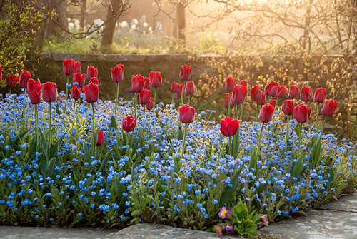 Tulipa 'Ile de France' with Myosotis - Forget me nots planted on the Circular Steps at Great Dixter, Northiam - © Carol Casselden/GAP Photos