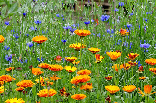 Marigolds and Cornflowers - © Heather Edwards/GAP Photos
