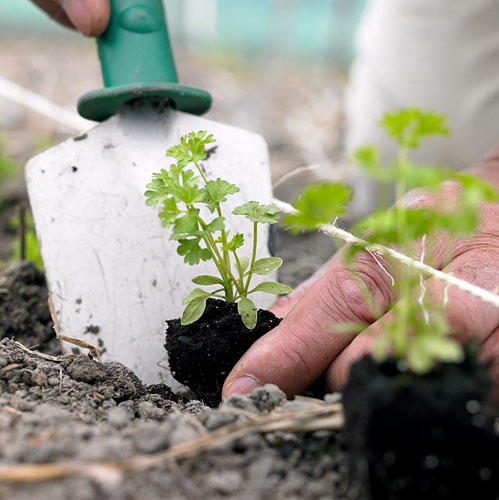 Planting young parsley - © Visions/GAP Photos