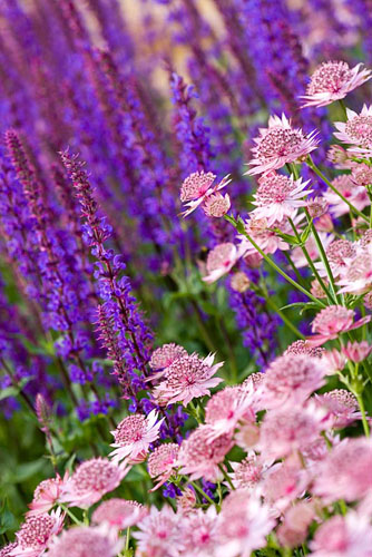 Astrantia 'Roma' and Salvia 'Tanzerin' - © Clive Nichols/GAP Photos