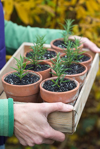 Rosemary cuttings - woman holding wooden tray of newly planted cuttings in pots - © GAP Photos