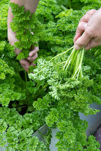Picking Parsley from a raised bed - © FhF Greenmedia/GAP Photos