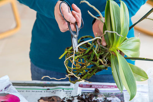 Orchid Care for Phalaenopsis - Moth Orchid. Carefully removing dead roots - © GAP Photos