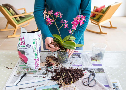Orchid Care for Phalaenopsis - Moth Orchid. Adding Orchid potting mix - © GAP Photos