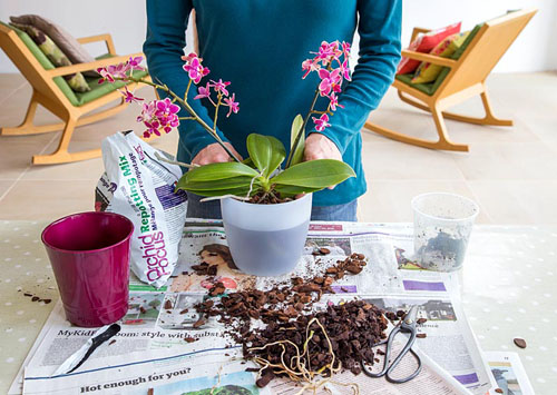 Orchid Care for Phalaenopsis - Moth Orchid. Soaking Orchid in fresh water - © GAP Photos