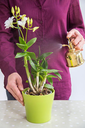 Orchid Care for Orchid Dendrobium. Spraying plant with brass mister - © GAP Photos
