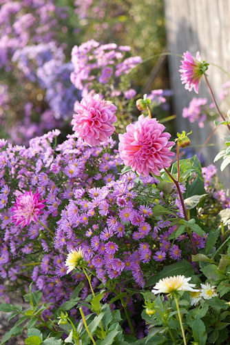 Aster with Dahlia - © Friedrich Strauss/GAP Photos