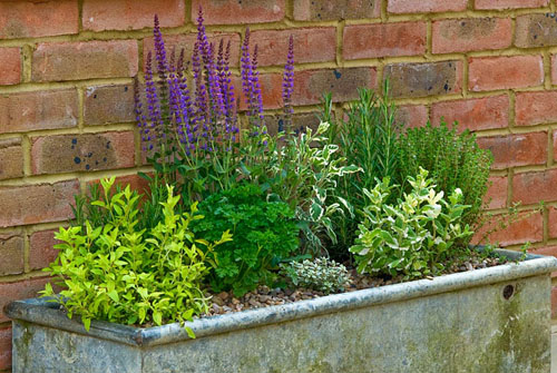 Herbs planted in a metal trough - © Rob Whitworth/GAP Photos