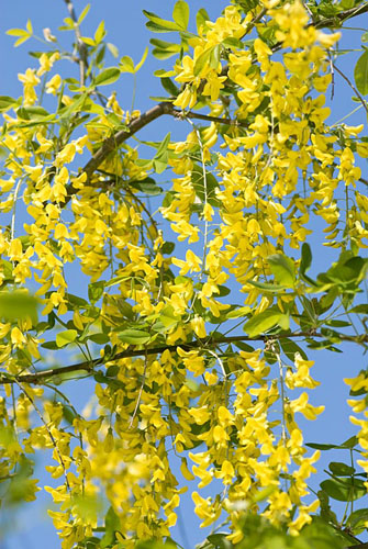 Laburnum x watereri 'Vossii' - Voss's Laburnum - © Richard Bloom/GAP Photos