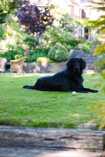 Dog on lawn. Ham Cottage, Sussex - © Abigail Rex/GAP Photos
