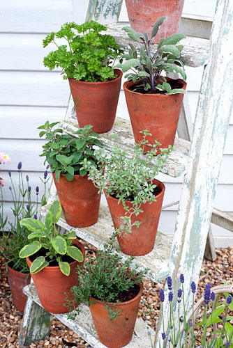 Selection of culinary herbs displayed on ladder including thyme, sage, oregano and parsley - © Juliette Wade/GAP Photos