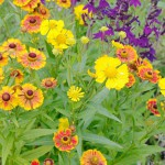 Helenium autumnale 'Helena' Mixed with Lobelia 'Compliment'