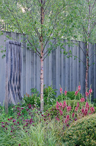 Betula underplanted with clipped Buxus sempervirens, Verbascum 'Petra', Aquilegia 'Ruby Port', Digitalis 'Sutton's Apricot' - The Massachusetts Garden, RHS Chelsea Flower Show 2014 - © Heather Edwards/GAP Photos