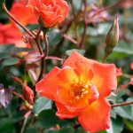 Rosa 'Warm Welcome' = Climbing Patio Rose 'Chewizz'