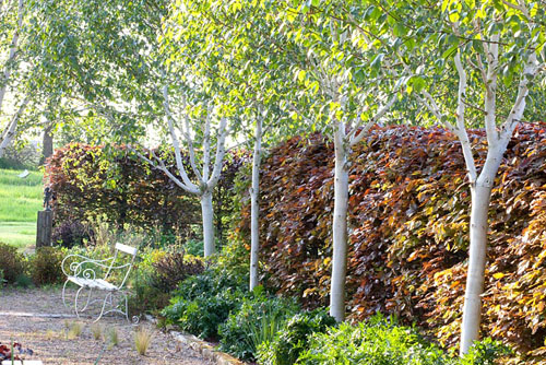 Betula Jaquemontii Graywood Ghost White Birch Trees In A