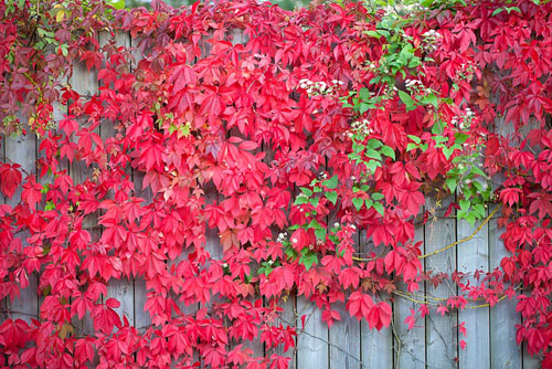 Parthenocissus quinquefolia - Virginia creeper with Clematis vitalba - © Richard Bloom/GAP Photos