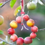 Decoration made from crab apples - Malus 'Red Sentinel'