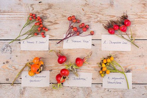Collection of Rose hips from various Roses with labels. Rosa 'Francis E. Lester', Rosa 'Treasure Trove', Rosa 'Shropshire Lass', Rosa 'The Generous Gardener', Rosa 'Scabrosa' and Rosa polyantha 'Grandiflora' - © GAP Photos