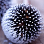Echinops - Frosted seedhead