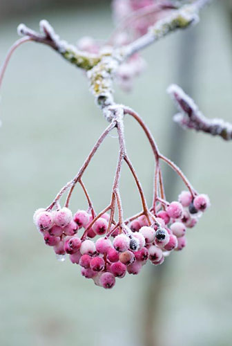 Sorbus vilmorinii berries covered in frost
