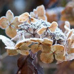 Frosted flower of lacecap Hydrangea
