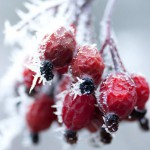 Frosted hips of Rosa rugosa