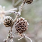 Frozen branch of Larix