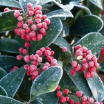 Skimmia reevesiana with frost