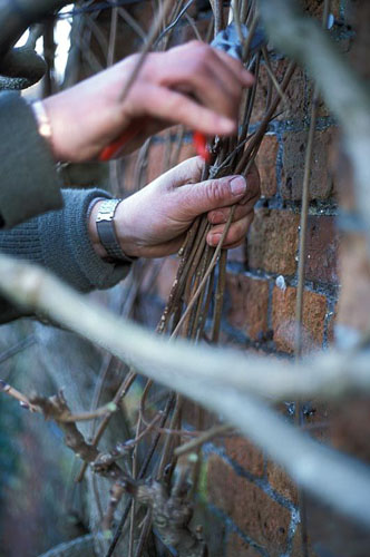 Pruning Wisteria sinensis - Cutting annual growth back to the main stem - © Sarah Cuttle/GAP Photos