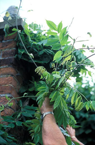 Pruning long tendrils of Wisteria sinensis after flowering in summer - © Sarah Cuttle/GAP Photos