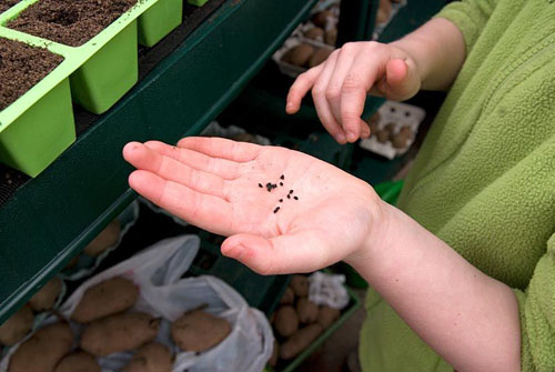 Young girl holding llek seeds before sowing them in seed trays in a greenhouse in early Spring - © Fiona Lea/GAP Photos