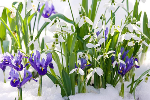 Galanthus nivalis and Iris reticulata - © Friedrich Strauss/GAP Photos